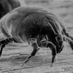 House Dust Mite Cause Allergies